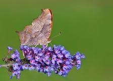De vlinder van het vraagteken Royalty-vrije Stock Afbeeldingen