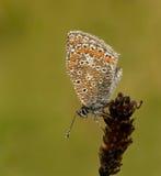 De vlinder van Icarus van Polyommatus met vroeg ochtendDr. Royalty-vrije Stock Foto's