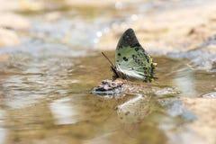 De vlinder van Jewelled nawab Stock Foto's