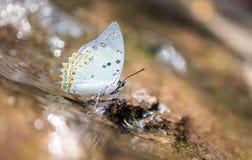De vlinder van Jewelled nawab Stock Afbeelding