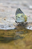 De vlinder van Jewelled nawab Royalty-vrije Stock Fotografie