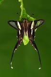 De vlinder van Lamproptera curius/op blad stock fotografie