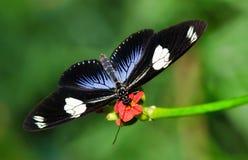 De vlinder van Longwing van Doris Royalty-vrije Stock Foto