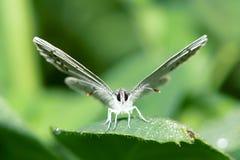 De vlinder van Lycaenidae Stock Foto