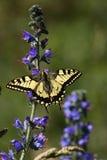 De vlinder van Machaon Royalty-vrije Stock Foto