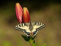 De vlinder van Machaon op Lelie Stock Afbeeldingen