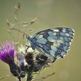 De vlinder van Melanargiagalathea op distelbloesem stock fotografie
