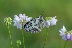 De vlinder van Melanargiagalathea zit onder een bloemenklaver wacht op dageraad stock foto
