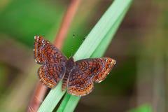 De vlinder van Metalmark in regenwoud. Royalty-vrije Stock Afbeeldingen