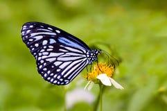 De vlinder van Milkweed Stock Afbeeldingen