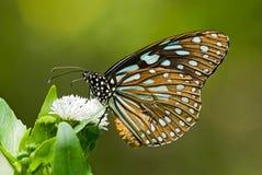 De vlinder van Milkweed het voeden op witte bloem Stock Afbeelding