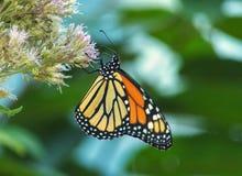 De Vlinder van de monarch op Joe Pye Weed royalty-vrije stock foto's