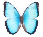De vlinder van Morpho Stock Afbeeldingen