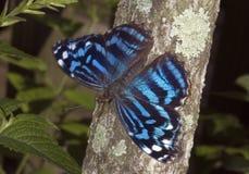 De Vlinder van Myscelia Stock Foto's