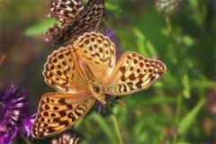 De vlinder van Niobe het fritillary Argynnis niobe voeden op bloem stock foto