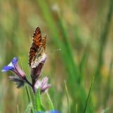 De vlinder van Nymphalidae Royalty-vrije Stock Afbeelding