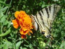 De vlinder van Papilio Royalty-vrije Stock Fotografie