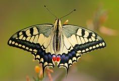 De vlinder van Papilio machaon Stock Foto's