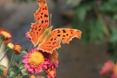 De vlinder van Parnassiidae Stock Afbeeldingen