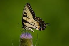 De Vlinder van Pasen Swallowtail stock foto's