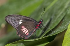 De vlinder van Rumanzoviaswallowtail royalty-vrije stock foto's
