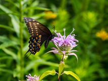 De Vlinder van Spicebushswallowtail op Bloem stock afbeeldingen