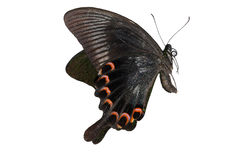 De vlinder van Swallowtail Stock Afbeelding