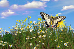 De vlinder van Swallowtail Stock Fotografie
