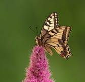 De vlinder van Swallowtail Royalty-vrije Stock Foto's
