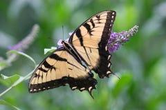 De Vlinder van Swallowtail Stock Foto's