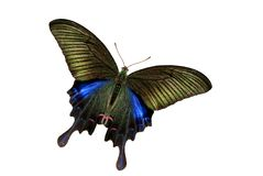 De vlinder van Swallowtail Royalty-vrije Stock Afbeelding