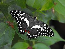 De Vlinder van Swallowtail van de citrusvrucht Royalty-vrije Stock Foto's