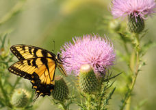 De Vlinder van Swallowtail en de Distel van de Melk royalty-vrije stock foto