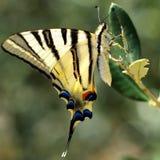 De vlinder van Swallowtail in groen natuurlijk milieu Royalty-vrije Stock Fotografie