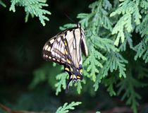 De Vlinder van Swallowtail op Ceder stock foto's