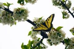 De Vlinder van Swallowtail op de Bloesems van de Boom van de Kers Stock Afbeelding