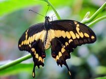 De Vlinder van Swallowtail op groene achtergrond Stock Afbeeldingen