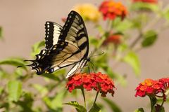 De Vlinder van Swallowtail op Oranje Lantana stock foto