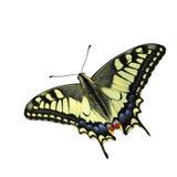 De vlinder van Swallowtail (Papilio machaon) Stock Afbeeldingen