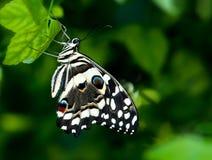 De vlinder van Swallowtail, Papilioninae Stock Afbeeldingen