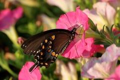 De Vlinder van Swallowtail van Spicebush stock afbeelding