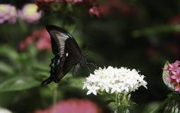 De Vlinder van Swallowtail van de pauw Stock Afbeelding