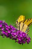 De Vlinder van Swallowtail van de tijger Stock Foto