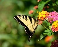 De Vlinder van Swallowtail van de tijger Stock Fotografie