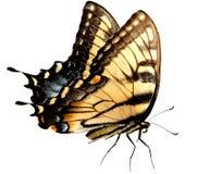 De Vlinder van Swallowtail van de Tijger van Pasen stock afbeeldingen