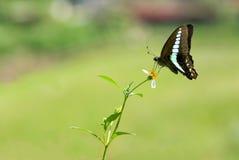 De vlinder van Swallowtail (vlinderreeks) Stock Afbeeldingen