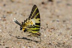 De vlinder van Swordtail van Fivebar Royalty-vrije Stock Foto