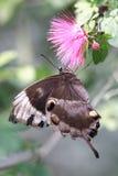 De vlinder van Ulysses en roze bloem stock foto's