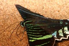 De vlinder van Urania Stock Foto's