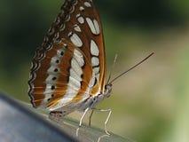 De Vlinder van Vietnam Royalty-vrije Stock Afbeelding